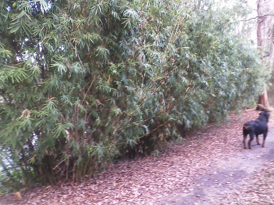 Landscaping With Dwarf Bamboo : Ti plant archives mastering the art of landscaping